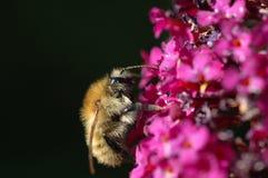 Kamieniarz pszczoła (osmu rufa) Zdjęcia Stock