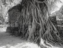 Kamienna głowa Buddha w korzeniowym drzewie Fotografia Royalty Free