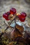 Kamienny berry1 Fotografia Royalty Free