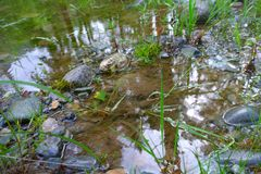 Kamienny brzeg blisko stawu Zielone rośliny r w bagnie trzciny nabrze?ny duckweed r przerastaj?cy stawowy pasek wci?? zdjęcie royalty free