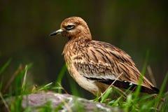 Kamienny Curlew, Burhinus oedicnemus, siedzi w trawie z kamieniem, ptak w natury siedlisku, Eurazjatycki kamienny curlew zdarza s Obraz Royalty Free