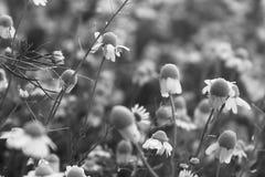Kamille stock afbeeldingen