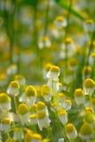 Kamille auf dem grünen Weizen-Gebiet Stockfotos