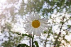 Kamille auf einem grünen Hintergrund Eine Blume Stockbild