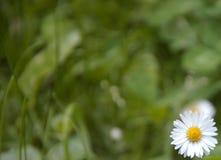 Kamille auf einem grünen Hintergrund Einsames Gänseblümchen auf dem Gebiet Lizenzfreie Stockfotos