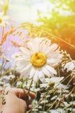 Kamille auf einer Sommerwiese im Sonnenlicht, Nahaufnahme Schöner Sommerhintergrund Effekt der untergehenden Sonne lizenzfreie stockbilder