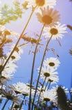 Kamille auf einer Sommerwiese im Sonnenlicht, Nahaufnahme Schöner Sommerhintergrund Effekt der untergehenden Sonne lizenzfreie stockfotos