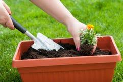 Kamille blüht mit grünem Gras im Blumenpotentiometer und in der kleinen Gartenschaufel auf weißem Hintergrund Stockfotos
