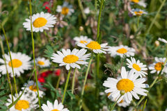 Kamille blüht wilde Frühlingsblumen Stockfotografie