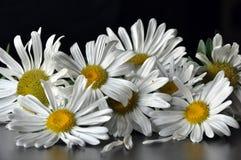 Kamille, Blumen Stockfotografie
