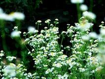 Kamille de bloem van de Zongod Stock Foto
