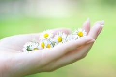 Kamille in de handen Royalty-vrije Stock Foto's