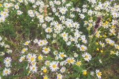 Kamille in de zomer Stock Afbeeldingen