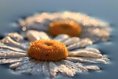 Kamille in den glänzenden Wassertropfen Stockbilder