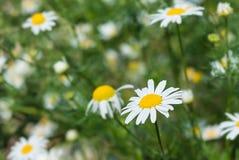 Kamille in der Natur auf einem grünen Hintergrund Stockfotos