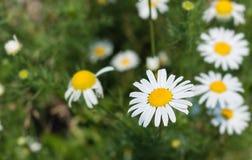 Kamille in der Natur auf einem grünen Hintergrund Lizenzfreie Stockfotos