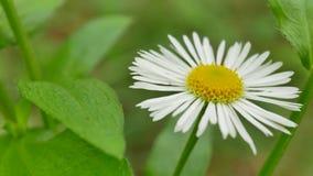 Kamille der weißen Blume, die in den Wind beeinflußt stock video footage