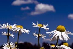 Kamille in een de zomerweide Stock Afbeelding