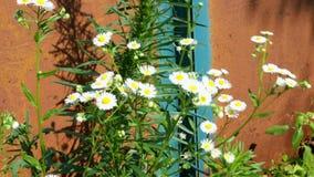 Kamille, Gänseblümchen und andere Wildflowers wachsen im Hintergrund, der mit alten rostigen Toren und -c$schwingen der Vegetatio stock footage
