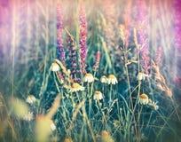 Kamille (Gänseblümchen) und purpurrote Blumen - Wiese Stockbilder