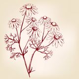 Kamille, geneeskrachtig kruid, realistische schets van de madeliefje de hand getrokken vectorillustratie stock illustratie
