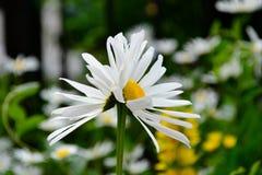 Kamille im Wind Lizenzfreies Stockbild