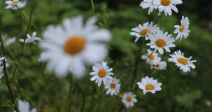Kamille im Yard im Sommer stock video footage