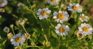 Kamille im Yard im Sommer stock video
