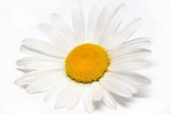 Kamille of kamillebloemen op witte achtergrond worden geïsoleerd die Stock Afbeeldingen