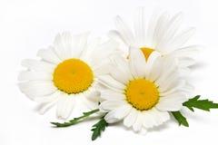 Kamille of kamillebloemen op witte achtergrond worden geïsoleerd die Royalty-vrije Stock Afbeelding