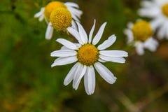 Kamille Latijnse Matricаria - een soort van het eeuwigdurende bloeien p Stock Afbeelding