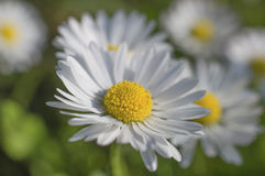 Kamille - madeliefje witte bloemen Royalty-vrije Stock Foto