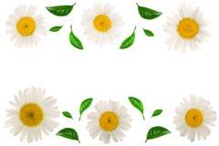 Kamille of madeliefjes met bladeren op witte achtergrond met exemplaarruimte worden geïsoleerd voor uw tekst die Hoogste mening V Stock Afbeelding