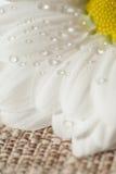 Kamille met dalingen van water Stock Foto's