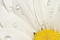 Kamille met dalingen van water Stock Foto