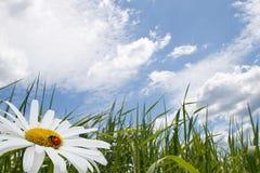 Kamille met onzelieveheersbeestje Stock Foto
