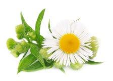 Kamille mit Blättern Lizenzfreie Stockfotos
