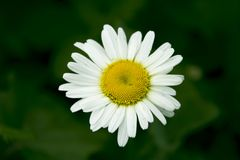 Kamille mit den weißen Blumenblättern und gelbe Mitte auf einem grünen Hintergrund Abschluss oben Ein sch?nes G?nsebl?mchen stockfoto