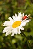 Kamille mit einem Marienkäfer Lizenzfreies Stockbild