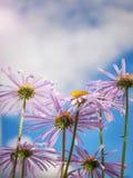 Kamille onder blauwe hemel macro natuurlijke achtergrond royalty-vrije stock foto