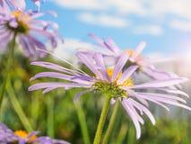 Kamille onder blauwe hemel macro natuurlijke achtergrond stock afbeeldingen