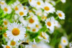 Kamille onder bloemen stock foto