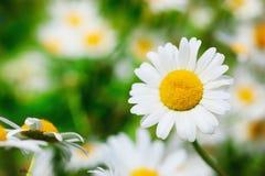 Kamille onder bloemen royalty-vrije stock afbeeldingen