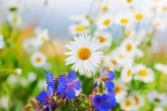 Kamille onder bloemen stock afbeelding
