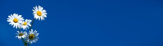 Kamille op blauwe banner stock foto