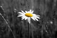 Kamille op de achtergrond van gele grasaccent royalty-vrije stock foto