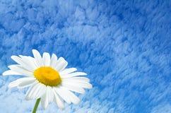 Kamille op de hemelachtergrond Stock Foto