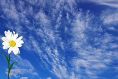 Kamille op een achtergrond van de blauwe hemel Stock Afbeelding