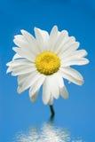 Kamille op een achtergrond van de hemel Royalty-vrije Stock Foto's