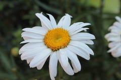 Kamille op een de zomerbloembed Stock Foto